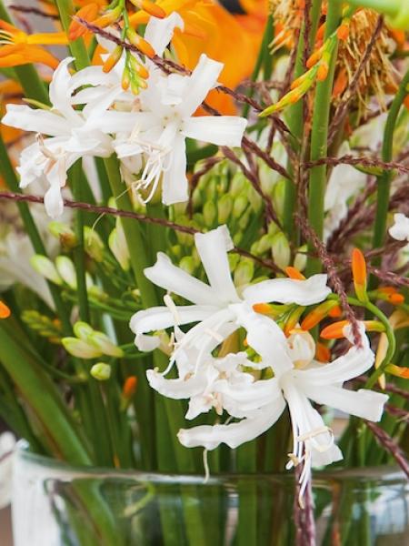 Nerine Bowdenii Alba (Pack of 6 Bulbs)