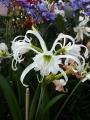 Hymenocallis Festalis White The Spider Lily