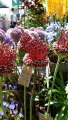 Red Mohican Allium Bulbs