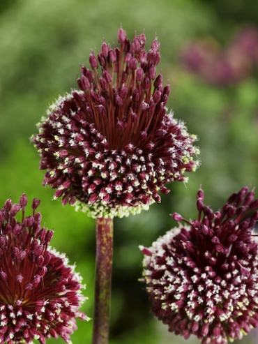 Allium Red Mohican (Pack of 5 Bulbs)