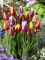 Mixed Tulips (Pack of 30 Bulbs)