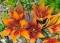 Longwood Lilies