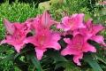 Homerus Oriental Lily