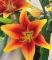 Kaveri Asiatic Lily