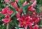 Metropolitan Oriental Lily