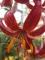 Claude Shride Martagon Lily
