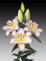 Tricolore Oriental Lily