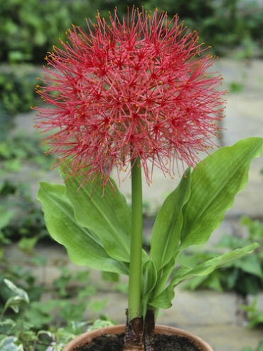 Scadoxus Multiflorus (Pack of 3 Bulbs)
