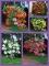 Begonia Pendula (Pack of 15 Corms)