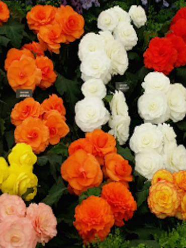 Begonias (Pack of 15 Corms)
