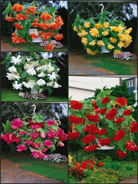 Begonia Pendula Mixed (Pack of 15 Corms)