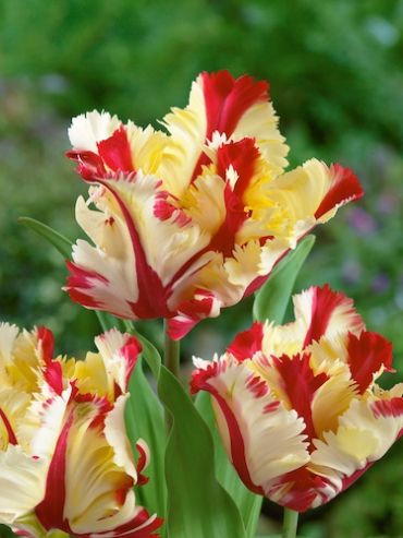 Tulip 'Flaming Parrot' (Pack of 10 Bulbs)