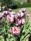 Rem's Favourite Tulip