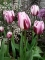 Rems Favourite Tulip