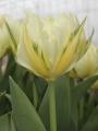 Exotic Empress Tulip