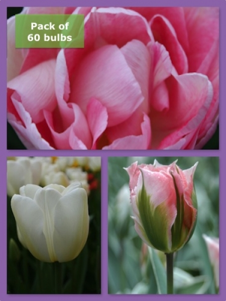 Pastel Tulip Collection (Pack of 60 bulbs)