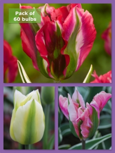 Spring Stripes Tulip Collection (Pack of 60 Bulbs)