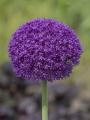 Allium Ambassador (Pack of 3 Bulbs)