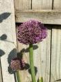 Allium Ambassador opening