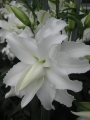 My Wedding Lily