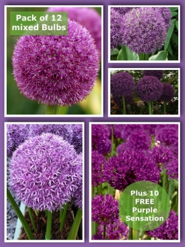 Giant Allium Bulb Collection (Pack of 12 Bulbs + 10 FREE Purple Sensation)