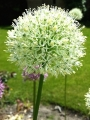 Allium Mount Everest (Pack of 6 Bulbs)
