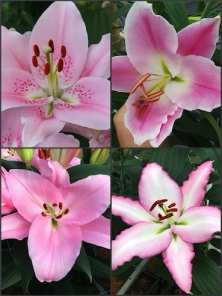 'Perfect Pinks' Lily Collection (Pack of 12 Bulbs)