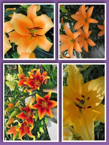 'Flaming Oranges' Lily Collection (Pack of 12 Bulbs)