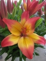 Lily 'Heartstrings'