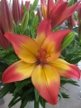 Heartstring Asiatic Lily