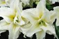 Roselily Carolina Lily