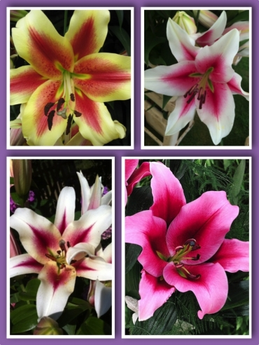 Multicoloured 'Tree-like' Lily Bulb Collection (Pack of 12 Bulbs) Lily Bulb Collections