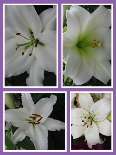 'Dazzling Whites' Lily Collection (Pack of 8 Bulbs)