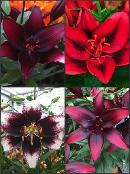 'Hot Red Bed' Lily Bulb Collection (Pack of 12 Bulbs)