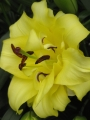 Lily 'Exotic Sun'