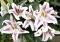 Lilium Spectator