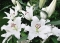 Bodyguard Oriental Lily