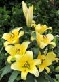 Alusta Oriental Trumpet Lily