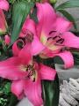 Lily 'Arvandrud'