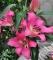 Arvandrud Oriental Trumpet Lily Bulbs