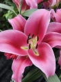 Lily 'Dalian'