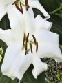 Lily 'Mezzana'
