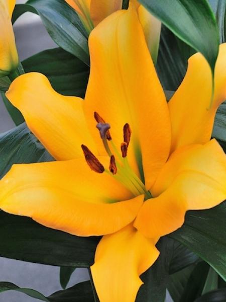 Lily 'Terrasol'