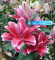 Roselily Donna Double Oriental Lily