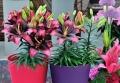 Tiny Poems Asiatic Pot Lily