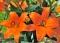 Eremo Orange Lily