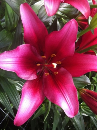Lily 'Constable'