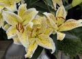 Yellow Tiger Oriental Lily
