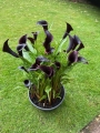 Calla Lily in pot