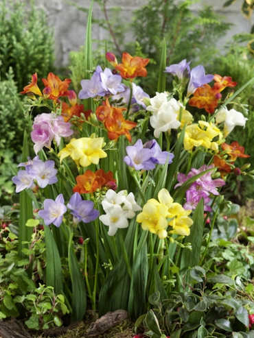 Mixed Collection of Freesias (Pack of 20 Bulbs) | Top Size Bulbs